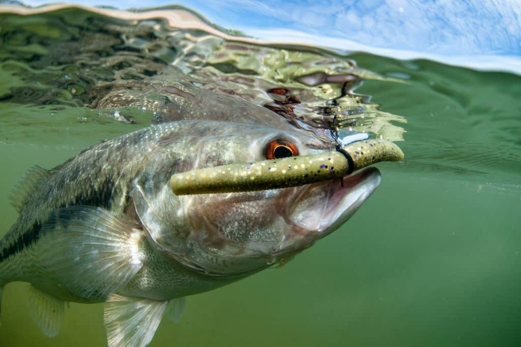 Can You Eat Freshwater Bass?