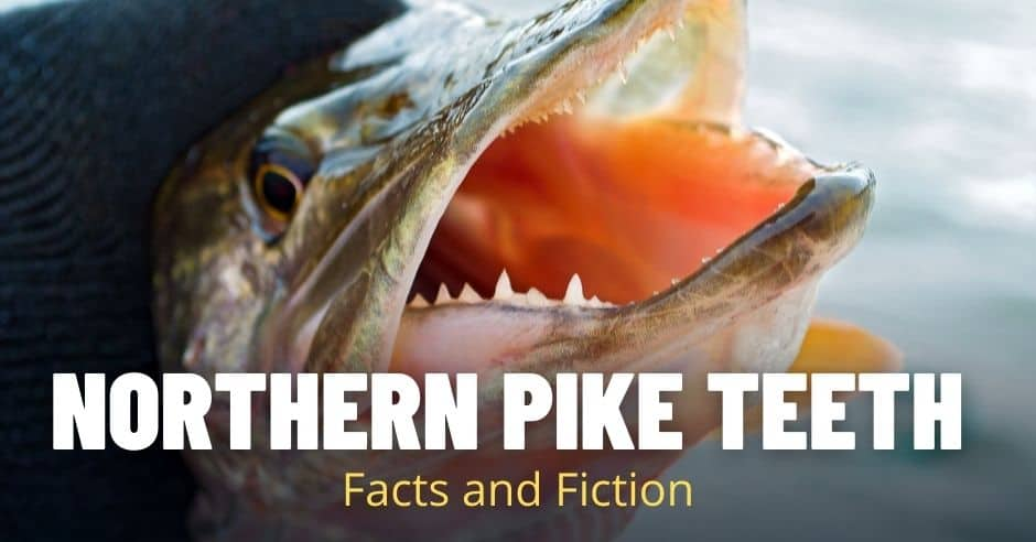 Northern Pike Teeth: Facts and Fiction